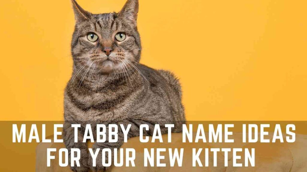 Tabby Cat Name Ideas for Male Cat, Male Tabby Cat Names