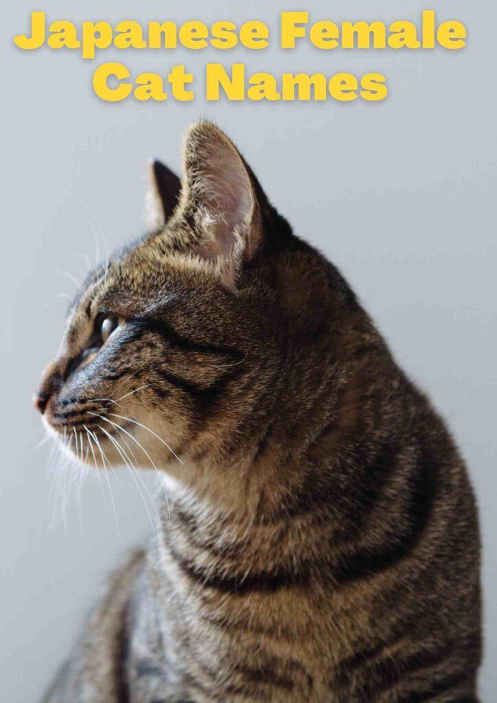 Japanese Female Cat Names