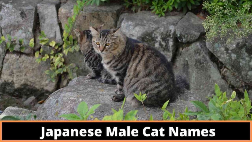 Japanese Male cat names
